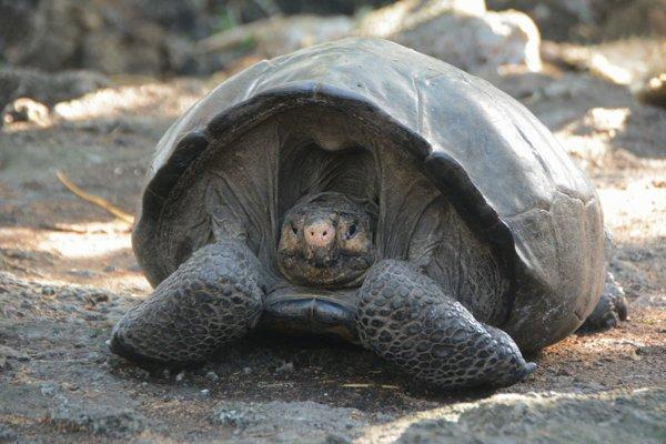 Objavená korytnačka môže mať viac ako sto rokov.