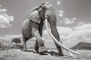 Vozidlo s kamerou BeetleCam umožnilo zachytiť slonicu zblízka počas bežného dňa.