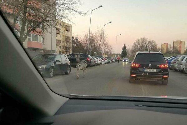 Fotku tejto zebry zdieľal Martin Balušík na portáli Klokočina - problémy obyvateľov.