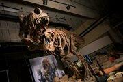 Scotty je najväčším objaveným tyranosaurom rexom na svete.