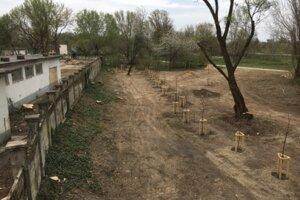 Namiesto spílených stromov 5. apríla vysadili nové.