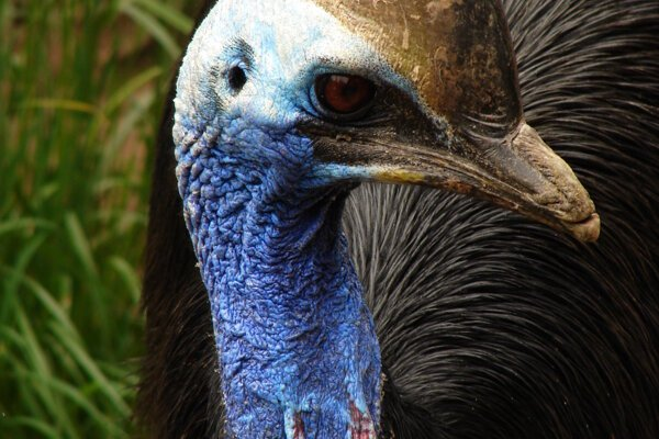 Vtáky z čeľade kazuárovitých, ktoré sú podobné pštrosovi, sa vyskytujú v pralesoch Papuy-Novej Guiney a severnej a východnej Austrálie.