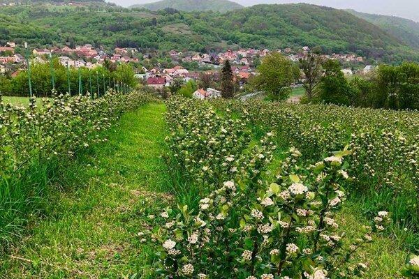 Značku bude môcť používať aj aróniová ekofarma, ktorá sa nachádza v obci Pitelová.