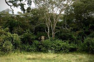 Divoké slony pri ceste okolo Arugam Bay.