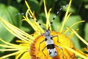 Kvety telekie lákajú rôzne druhy motýľov a hmyzu, aj fúzača alpského.
