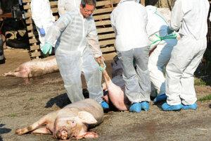 U najväčšieho chovateľa ošípaných v obci muselo byť utratených 40 jedincov.Štyri matky a 36 ciciakov.