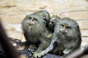 Najmenšie opice sveta Kosmáče trpaslíčie (lat. Cebuella pygmaea).
