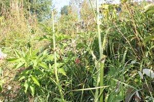 Boľševník je invázna rastlina.