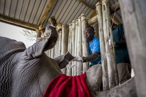 Pytliaci nosorožcom odrezávali rohy, ktoré za veľké peniaze predávali.