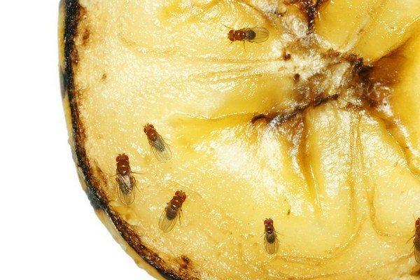 Miesto na uloženie vajíčok dokážu nájsť ovocné mušky veľmi presne.