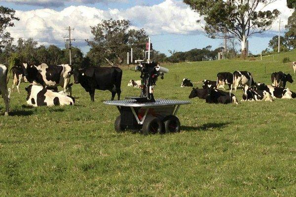 Automatický robot dohliada na stádo kráv.
