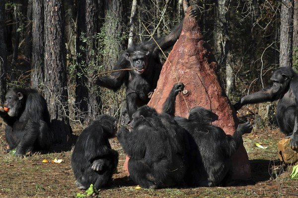 Aj šimpanzy sa hrajú pre radosť zo samotnej hry. Nepotrebujú inú odmenu.