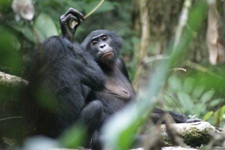 bonobo7.jpg