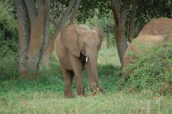 Africké slony žijúce v lese,  sú podľa vedcov osobitným druhom.