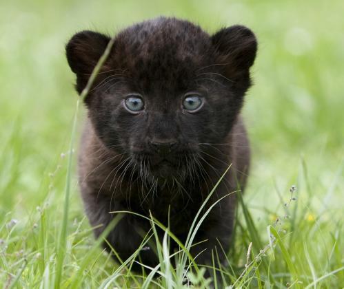maly-jaguar_tasrap.jpg