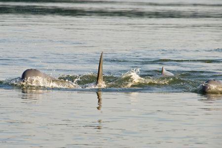delfiny_mekong2.jpg