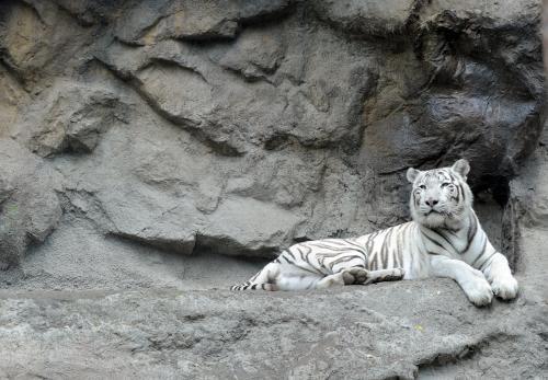 tiger-bratislava3_tasr.jpg