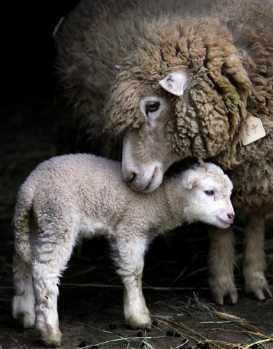 ovca-jahna_tasrap.jpg