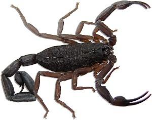 skorpion.jpg