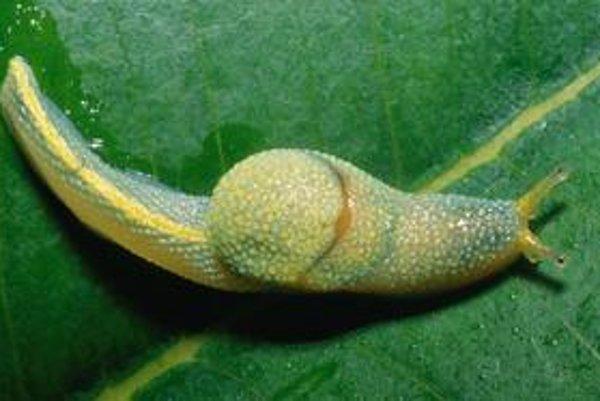 Ibycus rachelae.