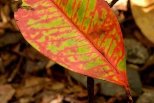 List mladého semenáčika, odumierajúceho v novembri 2005 po nezvyčajne silnom suchu v kolumbijskej Amazónii.