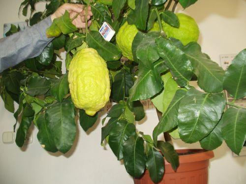 mamutie citróny v porovnaní so zápalkovou škatuľkou.