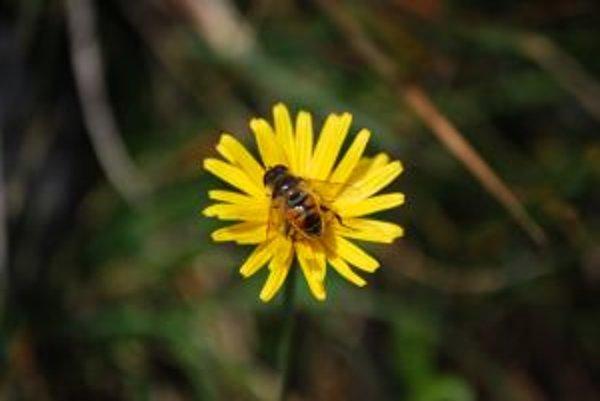 Včela na kvete pod vrcholom Sinej v Nízkych Tatrách.