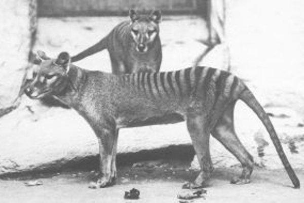 Dva preživšie vakovlky tasmánske zo štyroch, samice a troch mláďat, ktoré sa v roku 1902 dostali do Národnej zoo vo Washingtone (USA). Fotografia vznikla dva či tri roky po ich príchode do zoo. Z nich, najpravdepodobnejšie zo zvieraťa v popredí, pochádza