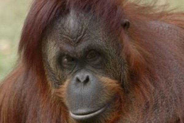 Orangutanica Bonnie zvládla ako prvý známy primát mimo človeka hvízdanie - sama, bez výcviku ho odpočula a odpozerala od ošetrovateľa.
