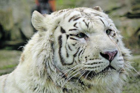 tiger_biely.jpg