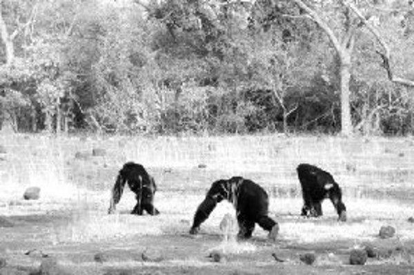 Fongolijské samce sa vydávajú na obchôdzku svojho nezvyčajne rozľahlého teritória. Vľavo hore je dospievajúca šimpanzica Tumbo s ulovenou kombou.