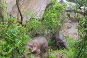 Dva slony uviazli na okraji zrázu nad vodopádom Haew Narok na severovýchode Thajska.