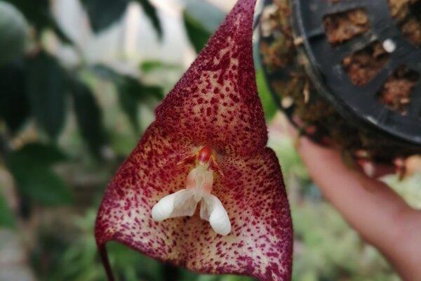 Jedným zo vzácnych je druh Dracula bella, ktorá dostala pomenovanie vďaka svojej nezvyčajnej farbe.