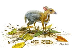 Ilustrácia Tragulus versicolor.