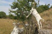Kozy spásajú náročnejšie terény, ovce a kravy zas rovinu.