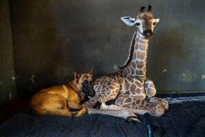 Pes Hunter a žirafie mláďa Jazz.