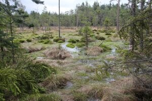 Fotografie ako niekde zFínska alebo zo západosibírskej tajgy. Vskutočnosti ide opodmáčané rašelinné  lesy pri Suchej Hore.