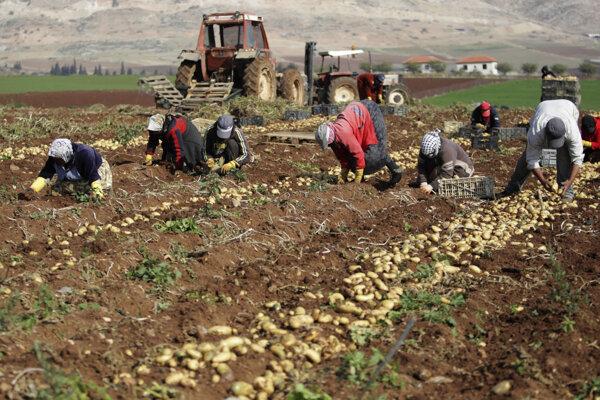 Palestínski farmári zbierajú úrodu zemiakov v Al Aghware.