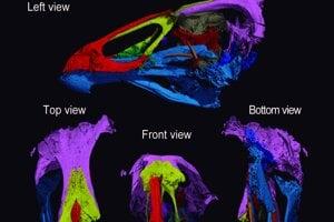 Trojrozmerný záber lebky najstaršieho anatomicky moderného vtáka. Má  mnohé znaky podobné s dnešnou hydinou.