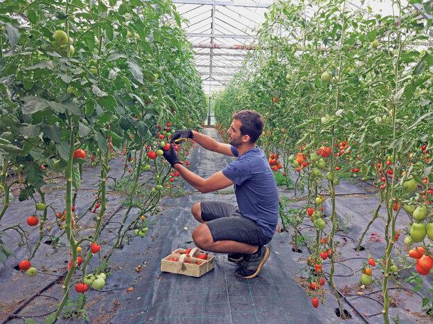 Pestovateľ Roman Tóth oberá paradajky v starom družstevnom skleníku priamo v Bratislave medzi Ružinovom a Slovnaftom.