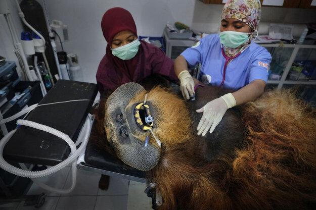 Alain Schroeder pre National Geographic, Záber orangutana počas veterinárnej prehliadky je súčasť série, ktorá získala prvú cenu v kategórii Príroda.