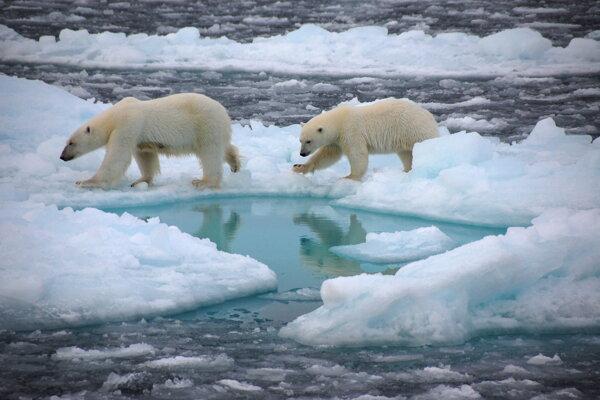 Polárne medvede môžu prísť v lete o domov.