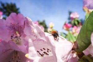 Včely patria k najviac ohrozenému hmyzu.