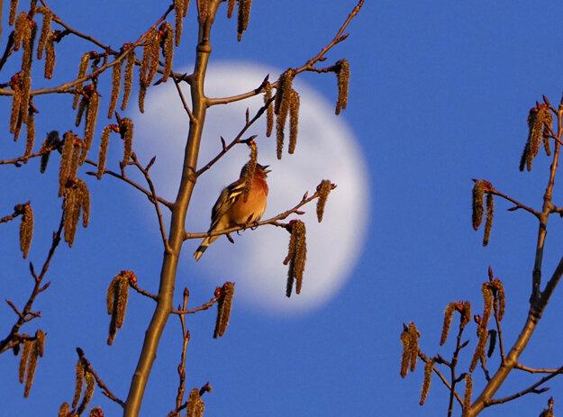 Vták na strome s Mesiacom v pozadí neďaleko ruského Petrohradu