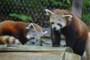 Pandy červené v košickej zoo.