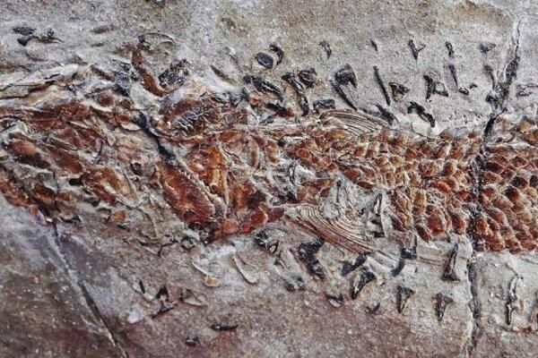 Výrez z fosílie, ktorá zachytáva najstarší známy lov hlavonožca. Na tomto obrázku je ryba, ktorú predátor ulovil.