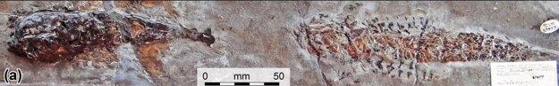 Celá fosília, ktorú našli ešte v 19. storočí pri pobreží Dorsetu. Vľavo je hlavonožec, ktorý ulovil rybu vpravo. KLIKNITE PRE ZVÄČŠENIE.