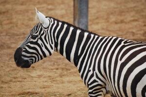 Zebra bezhrivá.
