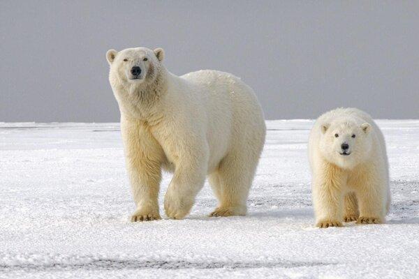 Medveď biely s mláďaťom.