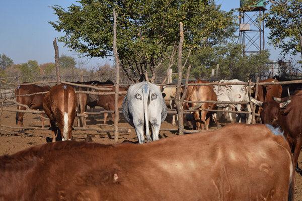 Krava, ktorej na zadok namaľovali oči. Podľa novej štúdie môžu dobytku poskytnúť určitú ochranu.